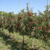 Выбираем и садим молодые саженцы яблони