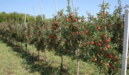 Как выбрать и посадить саженцы яблони