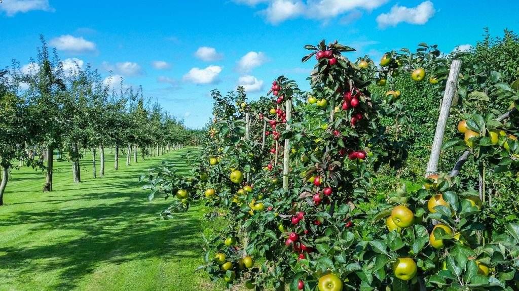 Сад. Яблоня
