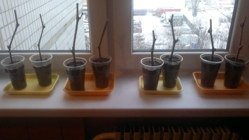 Черенки винограда в емкости