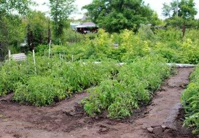 Огород. Грядки