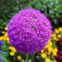 Декоративный лук — аллиум: Посадка и уход
