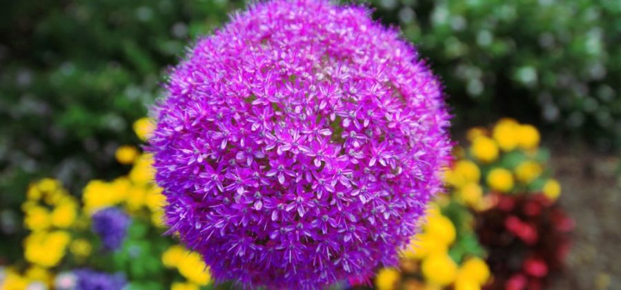 Посадка и выращивание Аллиума – декоративного лука