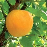 Выращивание Абрикоса, описание сортов и правила ухода за растением