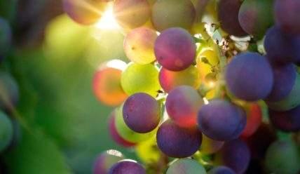Размножение винограда черенками в домашних условиях
