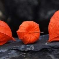 Как вырастить в саду Физалис декоративный и чем он отличается от съедобного