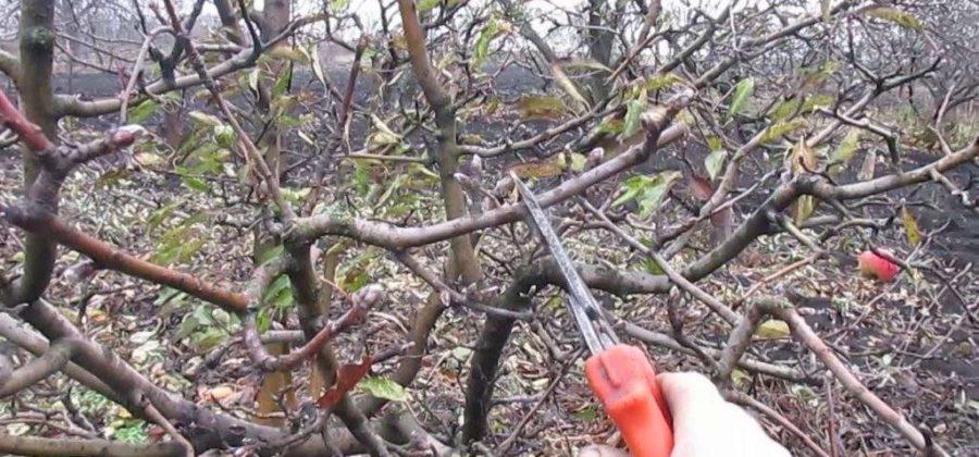 Когда и как обрезать яблоню