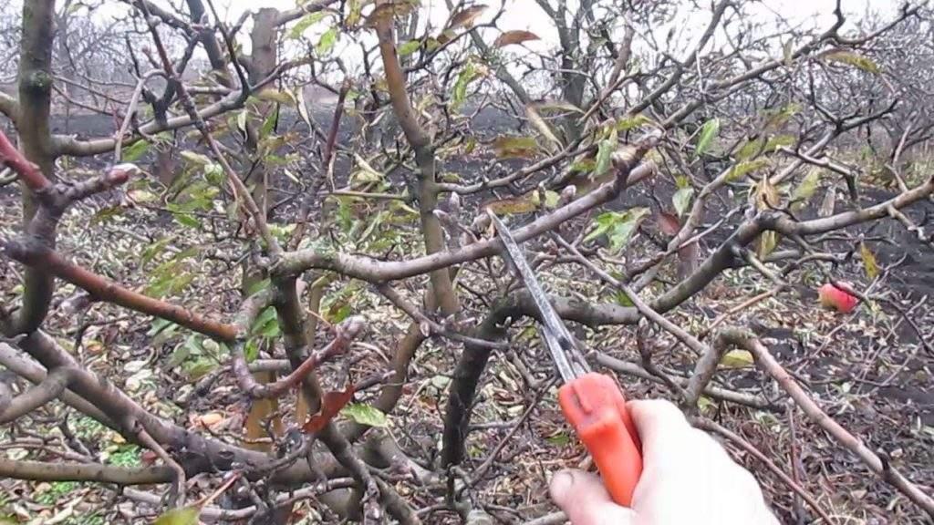 Как правильно обрезать яблони когда проводить обрезку
