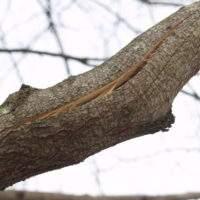 Как вылечить кору у плодового дерева