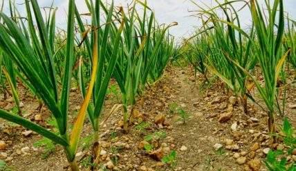 5 самых опасных вредителей чеснока