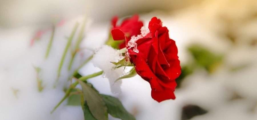 Укрытие роз под зиму