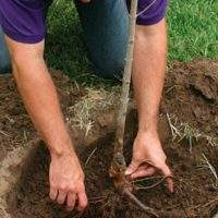 Как правильно сажать плодовые деревья