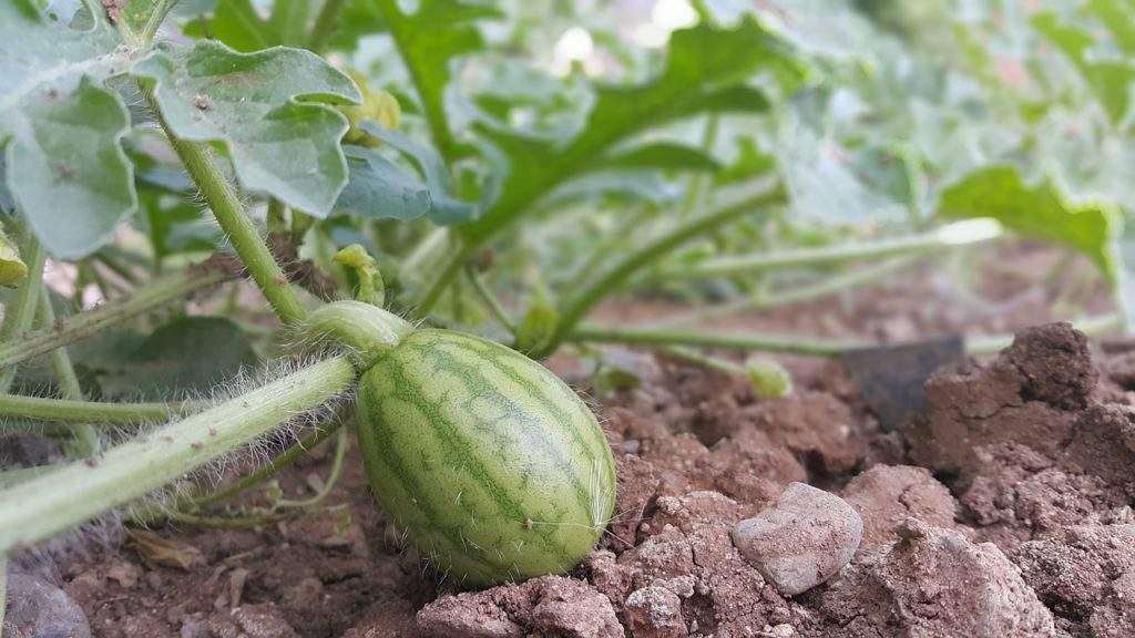 Технология выращивания арбузов на даче