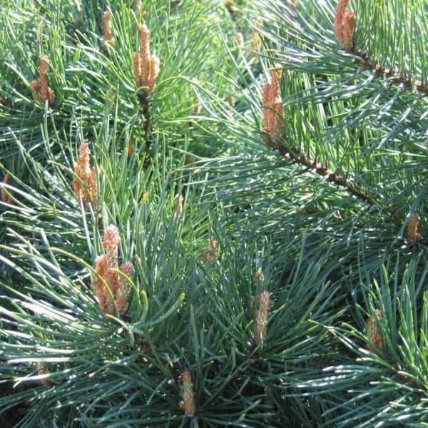 Прищипка хвойного растения - фото