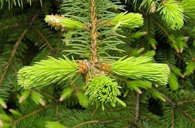 Хвойное растение - фотография