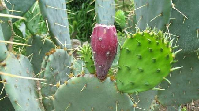 Зимостойкий кактус - фото