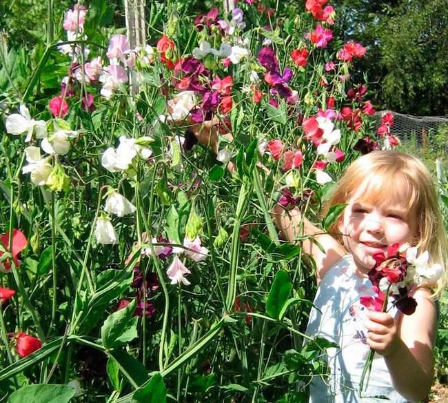 Душистый горошек в саду - фото