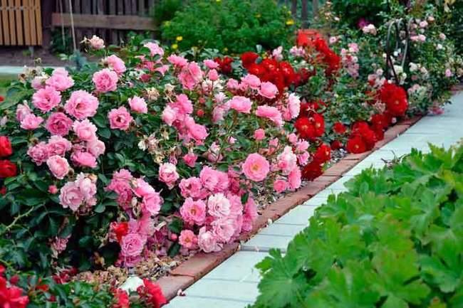 Розы в саду - фотография