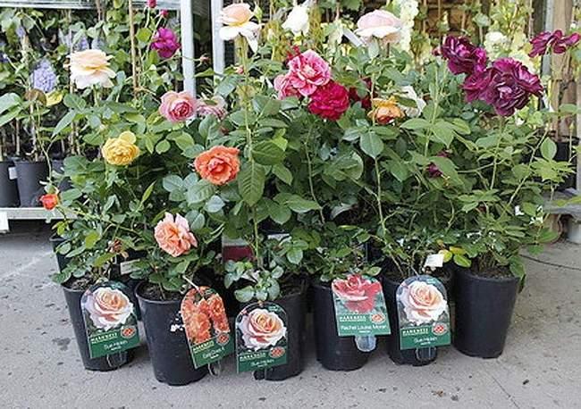 Саженцы роз - фото