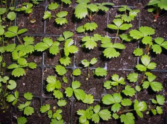 Посев садовой земляники - фото