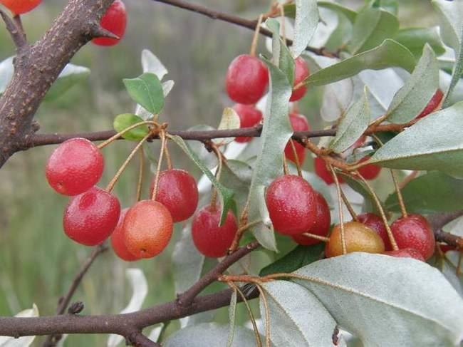 Лох многоцветковый - фото ягод