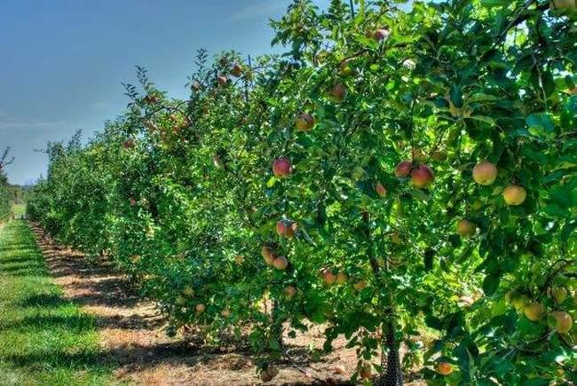 Плодовые деревья - фото
