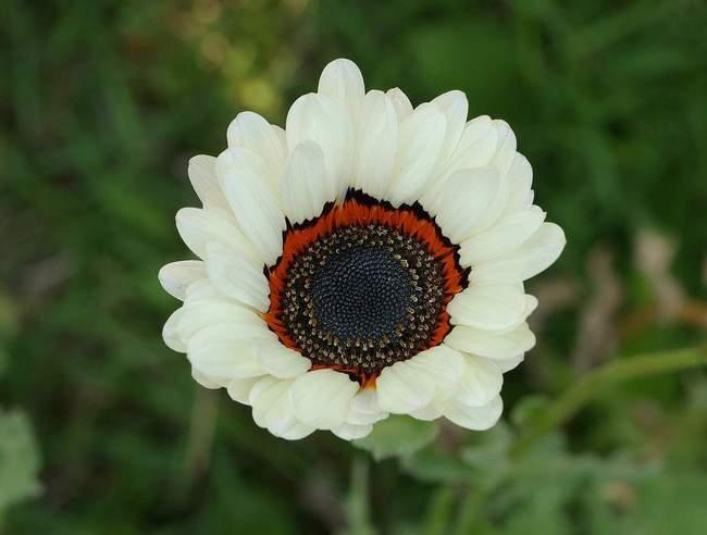 Цветок Венидиум пышный