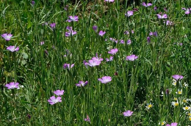 Агростемма в дизайне сада, фото цветков