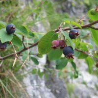Полезные свойства Ирги. Как правильно выращивать, ухаживать и размножать садовое растение