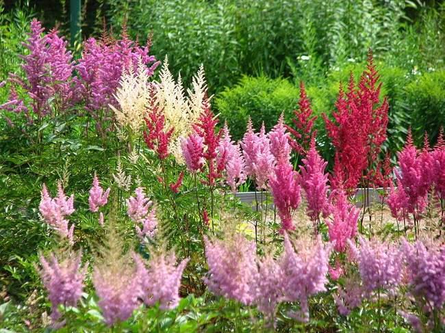 Фото цветов: Астильба