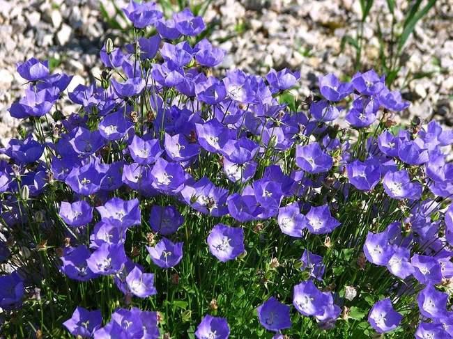 Колокольчик карпатский: выращивание и уход
