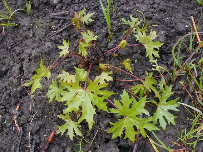 Декоративное растение для сада: Бузульник (Лигулярия) Пржевальского