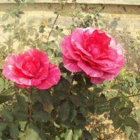 Как выбрать хорошие саженцы роз для посадки на своем участке