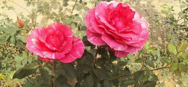 Как выбрать хорошие саженцы роз