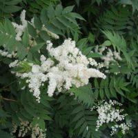Рябинник рябинолистный: описание, посадка, выращивание и применение его в дизайне сада
