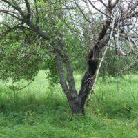 Как вылечить черный рак яблони