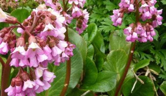 Полезное растение Бадан. Описание, правила посадки и ухода в открытом грунте