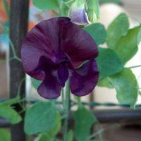 Горошек душистый — цветущая лиана