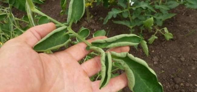 Что делать когда скручиваются листья у помидор