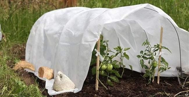 Помидоры укрыты спанбондом