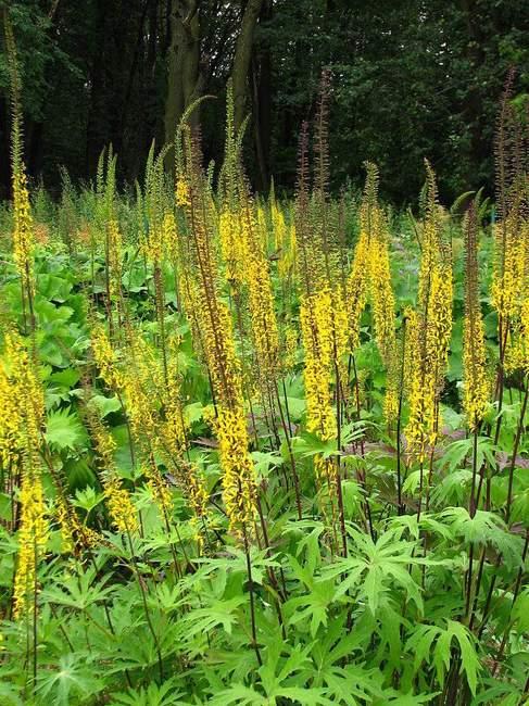 Декоративное растение: Бузульник Пржевальского