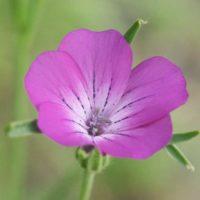 Агростемма: выращивание и уход за цветком