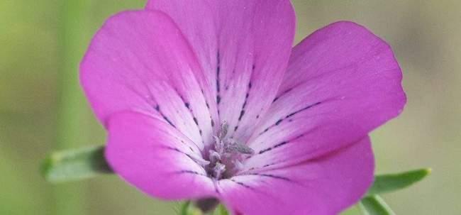 Выращивание Агростеммы и особенности ухода за ней