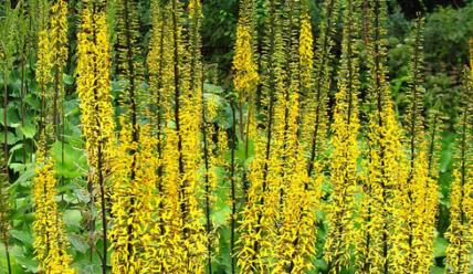 Бузульник Пржевальского: посадка и уход за травянистым растением в открытом грунте