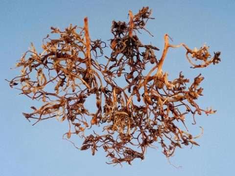 Галловая нематода на корнях жимолости