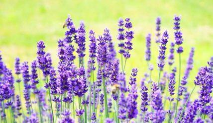 Выращивание Лаванды: Посадка и уход за цветком на даче