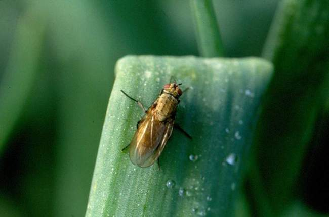 Вредители лука. Луковая муха