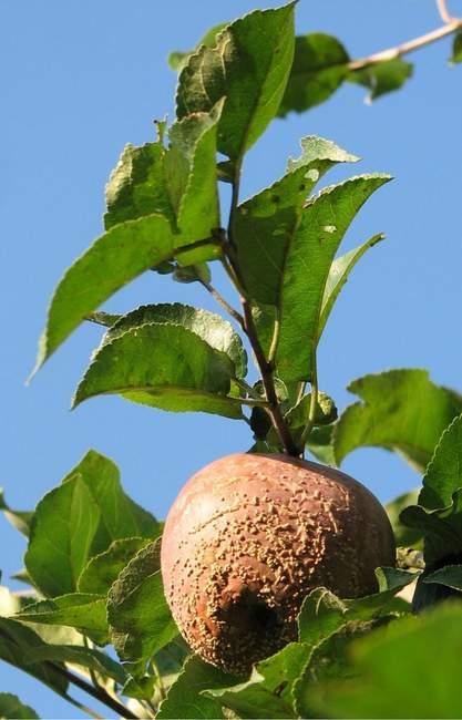 Яблоко зараженное плодовой гнилью