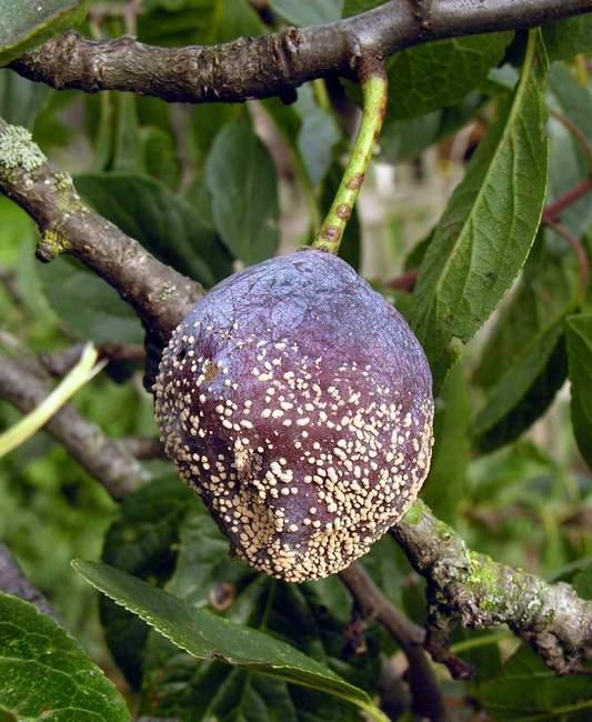 Плодовая гниль у сливы