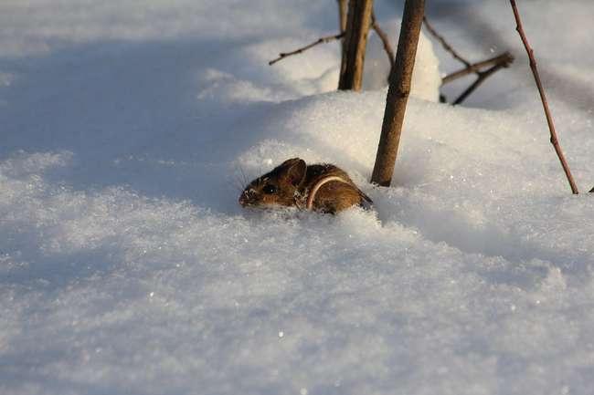 Мыши подъедают корни жимолости